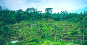Ceking Rice Terrace - Ubud Tour